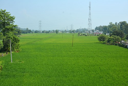 Our paddy fields starting to grow.