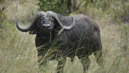 Cape Buffalo, tough but not the smartest brutes in the park.