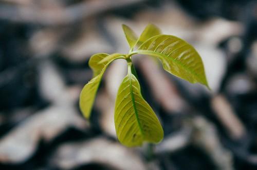 Mango-Seedling
