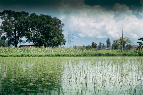 Flooded fields are perfect for growing rice.